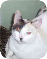 Domestic Shorthair Cat for adoption in San Diego/North County, California - Duchess