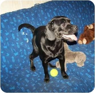 Pug/Labrador Retriever Mix Dog for adoption in Antioch, Illinois - Bella HAPPY AND FUN!
