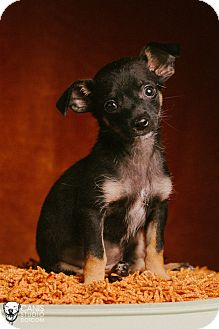 Chihuahua/Dachshund Mix Puppy for adoption in Portland, Oregon - Pluto