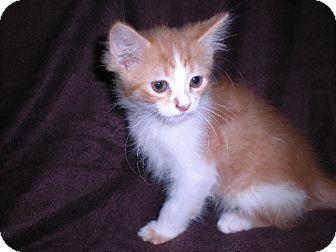 """Domestic Longhair Kitten for adoption in New Castle, Pennsylvania - """" Jack """""""