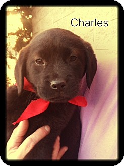 Labrador Retriever Mix Puppy for adoption in Glastonbury, Connecticut - Charles