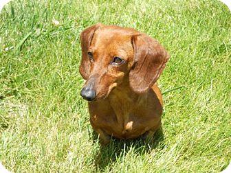 Dachshund Dog for adoption in Atascadero, California - Faith