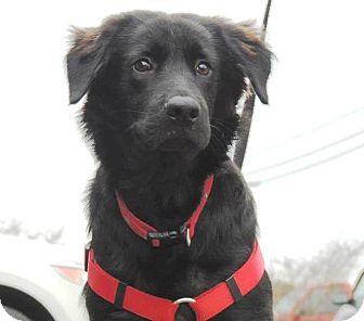 Australian Shepherd/Border Collie Mix Dog for adoption in Magnolia, Delaware - Blake