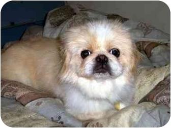 Pekingese Dog for adoption in Los Angeles, California - BRUISER