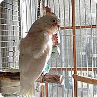 Cockatoo for adoption in Concord, California - Lido