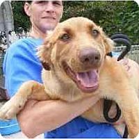 Adopt A Pet :: Hazel - Alexandria, VA
