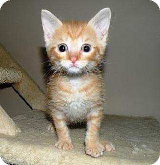 Domestic Shorthair Kitten for adoption in Turnersville, New Jersey - Toulouse