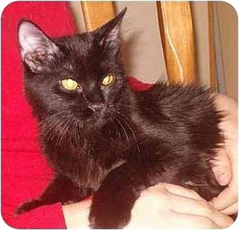 Domestic Mediumhair Kitten for adoption in Bedford, Massachusetts - Angelina