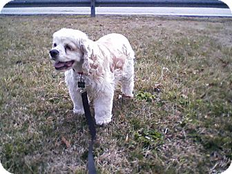 Cocker Spaniel Dog for adoption in Kannapolis, North Carolina - Missy -Adopted!