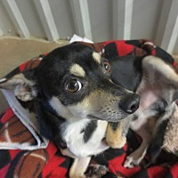 Chihuahua/Miniature Pinscher Mix Dog for adoption in Lubbock, Texas - Decker