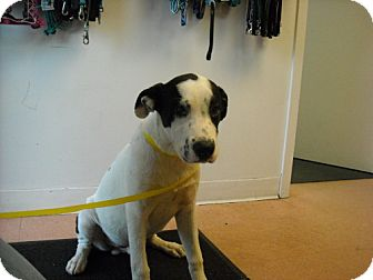 American Bulldog/Labrador Retriever Mix Puppy for adoption in Fort Walton Beach, Florida - Oreo