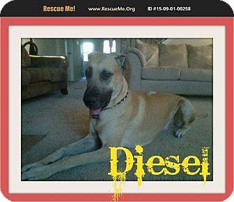 Great Dane Dog for adoption in bullard, Texas - Diesel