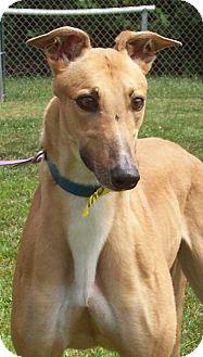 Greyhound Dog for adoption in Randleman, North Carolina - Love