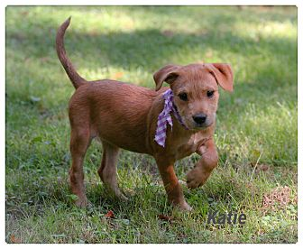 Jack Russell Terrier/Shepherd (Unknown Type) Mix Puppy for adoption in Hagerstown, Maryland - Katie