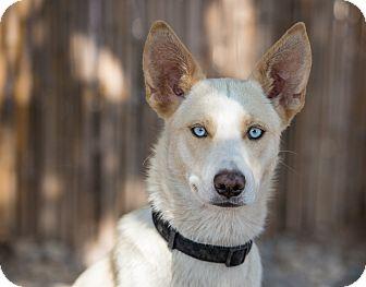Siberian Husky Mix Dog for adoption in Cedar Crest, New Mexico - Kami