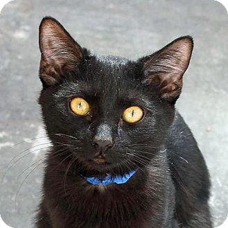 Domestic Shorthair Cat for adoption in Mountain Center, California - Basil