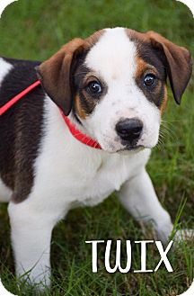 Beagle Mix Puppy for adoption in DFW, Texas - Twix