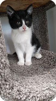 Domestic Shorthair Kitten for adoption in Chaska, Minnesota - Frost