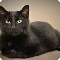 Domestic Shorthair Cat for adoption in West Des Moines, Iowa - Marisol