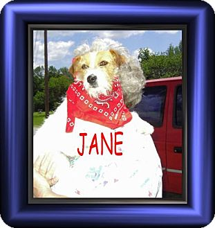 Jack Russell Terrier Mix Dog for adoption in Cushing, Oklahoma - x JANE adopted