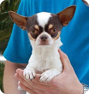 Chihuahua Mix Dog for adoption in Las Vegas, Nevada - Mogwai