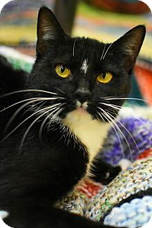 Domestic Shorthair Cat for adoption in Aiken, South Carolina - Luxio