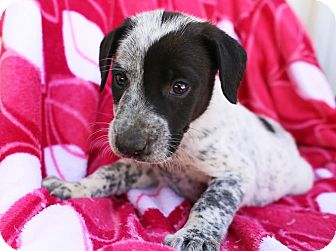 Labrador Retriever/Bluetick Coonhound Mix Puppy for adoption in Harrisonburg, Virginia - Siggy