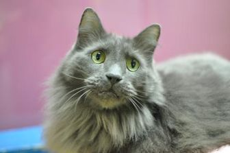 Domestic Mediumhair/Domestic Shorthair Mix Cat for adoption in Oshkosh, Wisconsin - Rustic Winterstocking