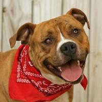 Boxer Mix Dog for adoption in Wichita Falls, Texas - Murry