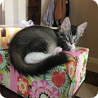 Domestic Mediumhair Kitten for adoption in Arlington/Ft Worth, Texas - Leonard