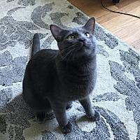 Adopt A Pet :: Roman - Lombard, IL