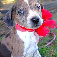 Adopt A Pet :: Gideon - Batesville, AR