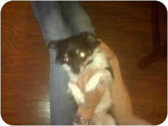 Chihuahua Dog for adoption in San Jose, California - Rocco