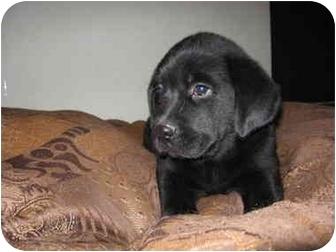 Bullmastiff/Labrador Retriever Mix Puppy for adoption in Howell, Michigan - Taylor