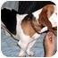 Photo 1 - Beagle/Basset Hound Mix Dog for adoption in Ephrata, Pennsylvania - Sonny