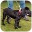 Photo 2 - Cocker Spaniel Dog for adoption in Tacoma, Washington - Shadow