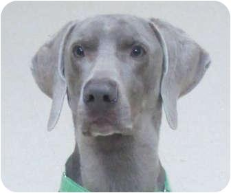 Weimaraner Dog for adoption in Grand Haven, Michigan - Buddy