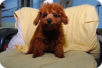 Poodle (Miniature) Puppy for adoption in New York, New York - Brooklyn