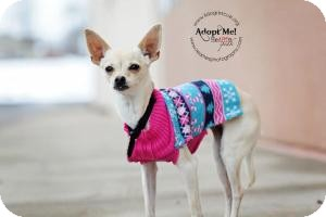 Chihuahua Dog for adoption in Shawnee Mission, Kansas - Amber Lee