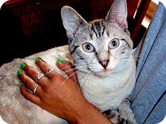 Siamese Cat for adoption in Arlington, Virginia - Langley
