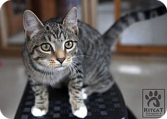 Domestic Shorthair Kitten for adoption in Lancaster, Massachusetts - Hansel