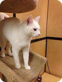Domestic Shorthair Cat for adoption in Monroe, Georgia - Crystal