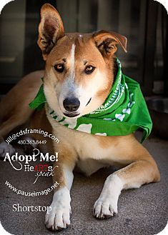Labrador Retriever/Shepherd (Unknown Type) Mix Dog for adoption in Phoenix, Arizona - SHORTSTOP