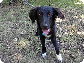 Border Collie Mix Puppy for adoption in Austin, Texas - Mondo