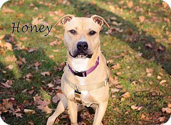 Labrador Retriever/Pit Bull Terrier Mix Dog for adoption in Chicago, Illinois - Honey