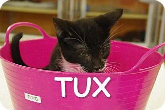 Domestic Shorthair Kitten for adoption in Elyria, Ohio - Tux