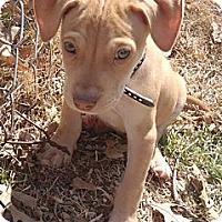 Adopt A Pet :: moofy - St. Louis, MO