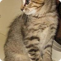 Adopt A Pet :: Pixie - Dallas, TX