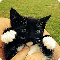Adopt A Pet :: Socks - Pineville, NC