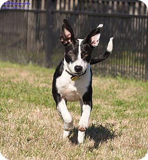 Border Collie/Labrador Retriever Mix Puppy for adoption in Seattle, Washington - Meadow A total love bug